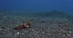A Spiny Devilfish, Inimicus didactylus walking on the sea bed away from the camera.