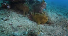 A Wide Shot of Two Giant frogfish, Antennarius commerson,Antennarius. commersonii