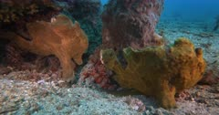 A Close Up Shot of Two Giant frogfish, Antennarius commerson,Antennarius. commersonii stand, well disguised next to sponge