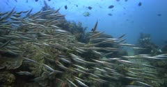 A Wide shot of a large school of Razor Fish, Aeoliscus strigatus swimming over the reef.