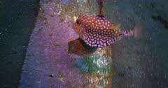 Two Thornback Cowfish, Lactoria fornasini courting.