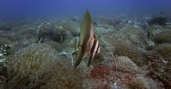 Close Up Slow Motion shot of a Juvenile Hump-headed Spadefish,Zebra Batfish, Platax batavianus floating above a healthy coral reef