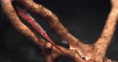 A Macro shot of the whole body of a Tozeuma Shrimp, Sawblade Shrimp, Tozeuma armatum using the camera lights at night to search for food.