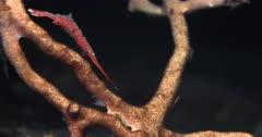 A Macro shot of the side of  the body of a Tozeuma Shrimp, Sawblade Shrimp, Tozeuma armatum using the camera lights at night to search for food.