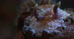 A Macro Pan Shot from the Antenna moving to the mouth, of a brown Nudibranch, dusted with white dust and fringed with a yellow and blue stripe, Glossodoris cincta
