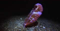The Back of a  Pretty peach and purple Sea Pen, Virgularia sp sways in the sea at night.