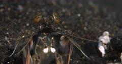 Close Up shot  of the face and upper body of a Mantisshrimp, Lysiosquilla tredecimdentata facing the camera