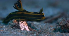 A Close Up Side View shot of a Black and yellow Stripped  Nudibranch, Tyrannodoris luteolineata stretching to get over a bump, it then moves directly towards the camera