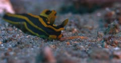 A Close Up Side View shot of a Black and yellow Stripped  Nudibranch, Tyrannodoris luteolineata sliding over the sea bed