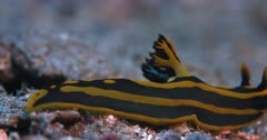 A Close Up Side View shot of a Black and yellow Stripped  Nudibranch, Tyrannodoris luteolineata sliding over the sea bed , it the exits frame