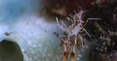 A Macro shot of a Bongo Bumble Bee Shrimp,Spiny Tiger Shrimp,  Phyllognathia ceratophthalma searching for food.