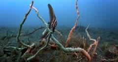 A Close Up shot of a Juvenile Zebra Batfish,Hump-headed Spadefish, Platax batavianus floating in the water.