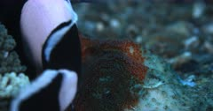 A Close Up shot of newly laid eggs, of Clark's Anemonefish, Amphiprion clarkii and a parent swimming over them to aerate them.