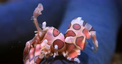 A Close Up enters frame,  side view shot of a Harlequin Shrimp, Hymenocera elegans walking over a purple sponge.