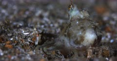 A Close Up of a Veined Octopus or Coconut Octopus, Amphioctopus marginatus who buries itself in the sea sand and hides with just its eyes left protruding.