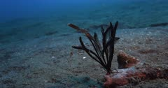 A wide shot of a Robust Ghostpipefish, Solenostomus cyanopterus next to a feather star.