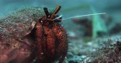 A Close Up Front Shot of a  red with white dots, Giant spotted hermit crab, Dardanus megistos protudes with its face and legs moving out of a shell.
