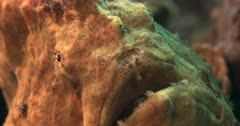 A Macro Shot of the eyes,Lure,Esca and mouth of a Yellow Giant frogfish, Antennarius commerson,Antennarius. commersonii breathing through its open mouth.