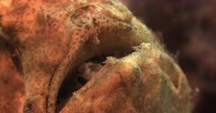 A Macro Shot of the mouth of a Yellow Giant frogfish, Antennarius commerson,Antennarius. commersonii breathing through its Open mouth.