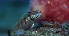 A Close Up front face view of a Giant Shrimpgoby Fish, Amblyeleotris fontanesii or Mblyeleotris fontanesii hops infront of the camera