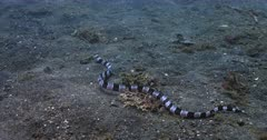 A Tracking shot of a Banded,Harlequin, snake eel, Myrichthys columbrinus sliding on the sea bed.
