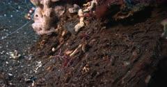 Close Up of  five Durban hinge-beak Prawns, Rhynchocinetes durbanensis