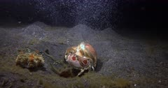 A Shame faced Boxer crab,Spotted Box Crab, Calappa philargius at night releases  its eggs  in a cloud into the ocean.