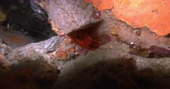 A Close Up of a Flashing File Shell,Electric Eye Flashing Scallop, Electic Clam,Ctenoides ales flashing at night.