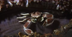 A Close up, front view shot of a Spotted Anemone Porcelain Crab ,Neopetrolisthes maculatus hiding under an Anemone, using its fans on its front pincers to capture food floating in the sea and taking it to its mouth and eating.