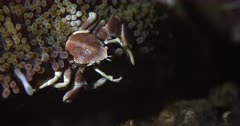 A Close up, top view shot of a Spotted Anemone Porcelain Crab ,Neopetrolisthes maculatus on  an Anemone, using its fans on its front pincers to capture food floating in the sea and taking it to its mouth and eating.