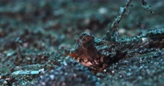 A Close up shot of the side view if the orange mouth and blue spotted face of an Orange and black dragonet,Kuiters Dragonet, Dactylopus kuiteri
