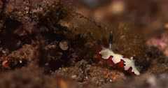 A Close Up Side View Shot of a stunning Goniobranchus fidelis climbs up the reef.