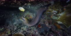 A Close Up, slow motion shot, at night of a Giant Moray Eel, Gymnothorax javanicus hunting a Butterfly fish in its view. It misses it.