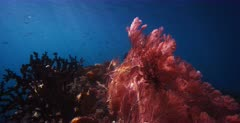 A stunning, tracking shot of God rays shimmering over a large pink colored  Gorgonian fans, Gorgonia sp