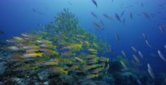 A stunning wide shot of large schools of Bigeye Snapper, Lutjanus lutjanus  and Scissortail Fusilier, Caesio caerulaurea fish.