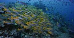 A stunning wide shot so full of fish .Large schools of Bigeye Snapper, Lutjanus lutjanus, Scissortail Fusilier, Caesio caerulaurea fish and Yellowback Fusilier, Caesio teres.  Raining fish.
