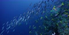 A stunning wide shot so full of fish .Large schools of Bigeye Snapper, Lutjanus lutjanus, Scissortail Fusilier, Caesio caerulaurea fish and Yellowback Fusilier, Caesio teres.  Raining fish. Note two Baracudas on the hunt.