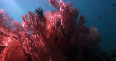 A stunning close up pan shot around a large grouping of pink Gorgonian fans, Gorgonia sp with light shimmering through the shot.