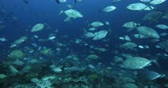 A wide shot of a large school of Bluefin Trevally,Jacks,Fish,  Caranx melampygus, Big eye Jacks and Orangespotted Trevally, Carangoides bajad in a wall of fish.