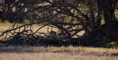 A Wide shot of a Black backed Jackal,Canis mesomelas barking loudly at a Leopard, Panthera pardus that is in the thorn tree where its den is.