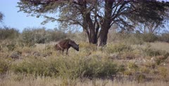 A Tracking shot of a  Brown Hyena, also called Strandwol, Hyaena brunnea with its hair all bushy and looking big and dominant, licks its lips after leaving the kill spot.