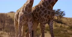 Close Up shot of two Giraffe, Giraffa butting heads, knocking necks and shoving with their hips.