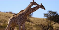 Close Up Tracking shot of two Giraffe, Giraffa knocking with their necks and shoving with their hips, showing display of dominance.