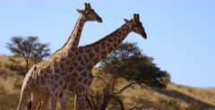Close Up shot of two Giraffe, Giraffa knocking with their necks and shoving with their hips, showing display of dominance.
