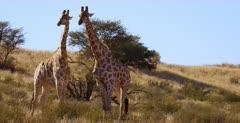 Close Up shot of two Giraffe, Giraffa necking and  showing display of dominance.