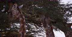 Close Up shot of just the face of three Giraffe, Giraffa chewing the leaves of a thorn tree.