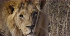 A Close Up shot of the face looking directly at the camera of a Kgalagadi Male Lion,Panthera leo with its black mane