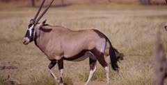 Wide shot of a Gemsbok that walks away to reveal a pair of White-backed vulture, Gyps africanus mating.