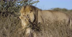 A close up shot of a male and female Lion,Panthera leo totally Camouflaged in the grass. They then stand up and Mate.