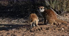 A Close Up shot of an Adult  Meerkat or Suricate, Suricata suricatta  making two poops,then a juvenile joins her and sniffs.